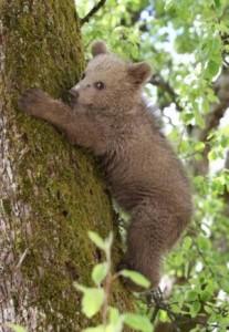 Pleza, pleza na drevo